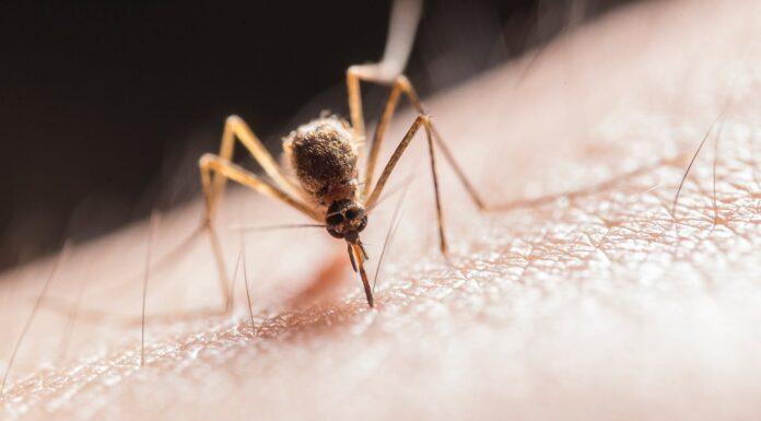 rośliny przeciw komarom