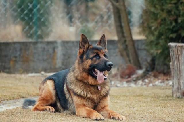 pies rasy olbrzymiej