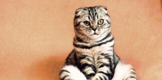 kot rasowy