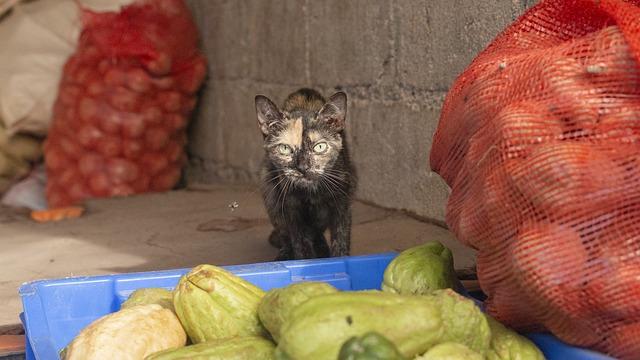 karma wegańska dla kota